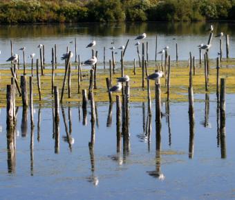 Réserve ornithologique de Le Teich sur le Bassin d'Arcachon - SIBA/Brigitte Ruiz