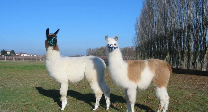 Lamas de Brandacot © Ferme de Brandacot