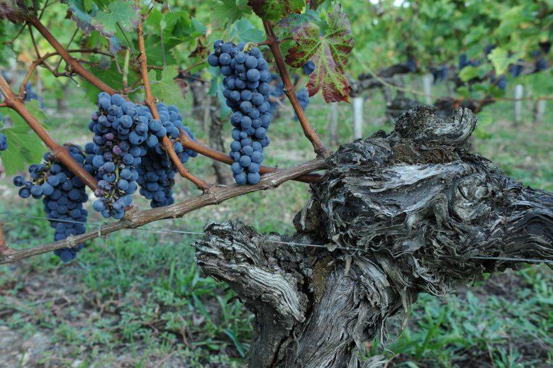 Old vine (c) Smith Haut Lafitte