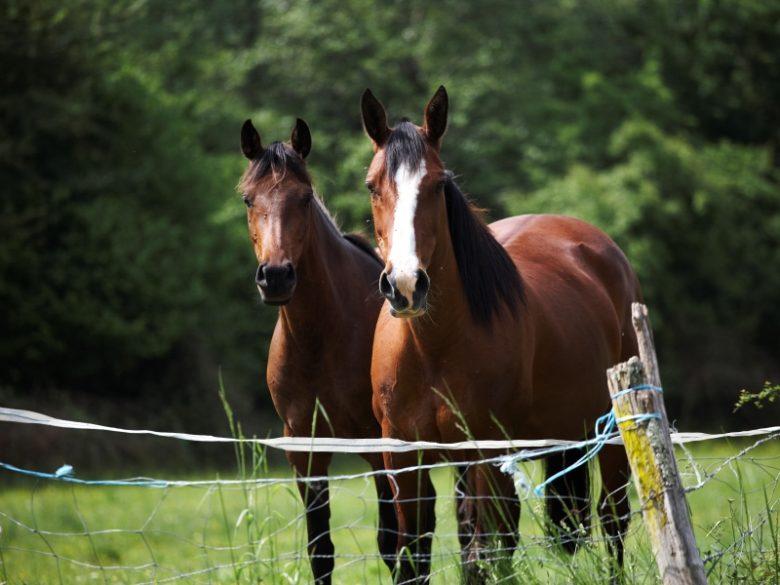 Bazadais – chevaux – équitation