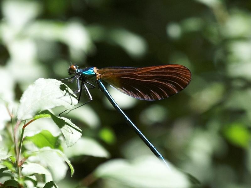 Bazas – lac de la Prade libellule