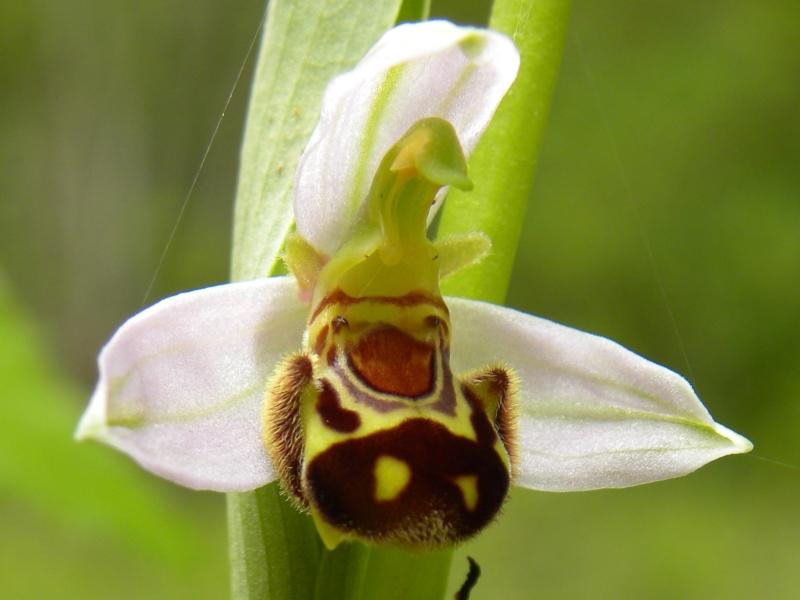 Bazas – lac de la Prade orchidée – David Lessieur-CEN Aquitaine
