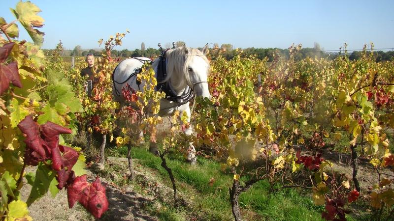 Château_Nodot_cheval_de_trait_au_travail_dans_les_vignes