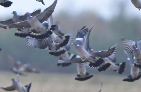 De grands rassemblements de pigeons ramiers s'observent dans les maïs en hiver
