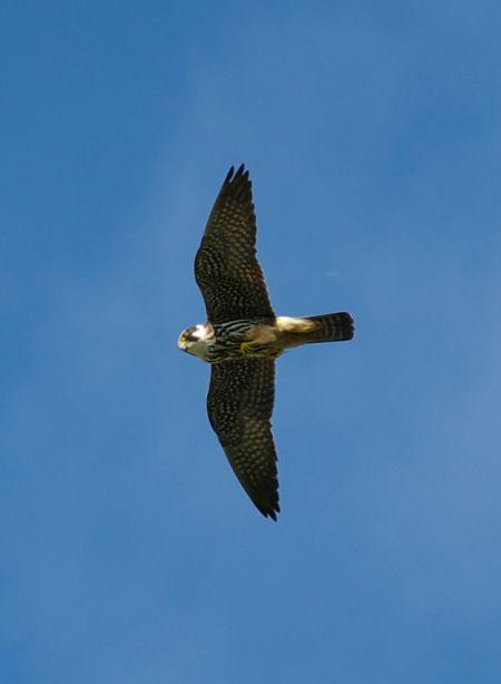 Faucon hobereau en chasse