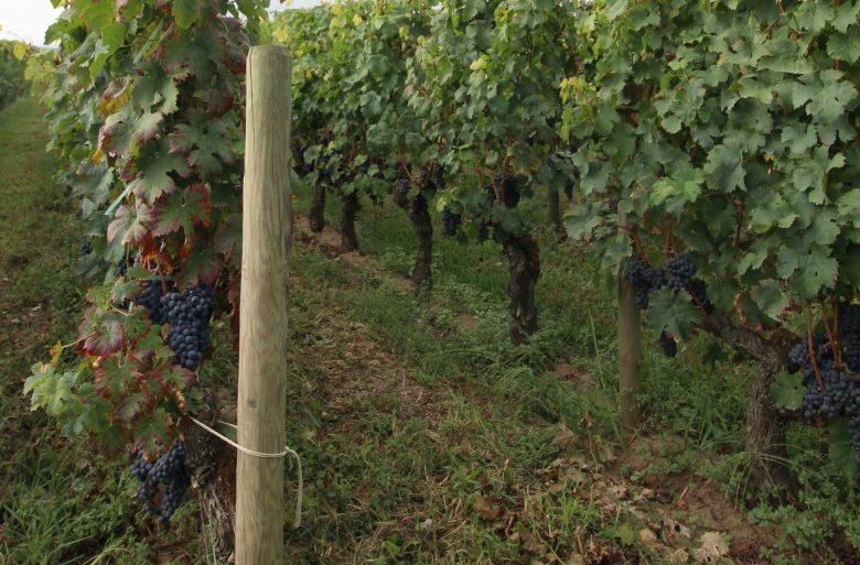 Vigne et son raisin