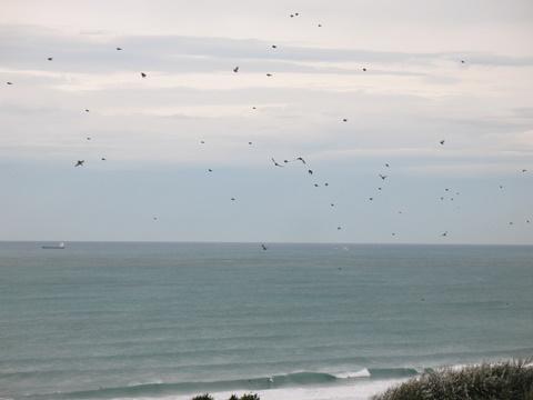 Les pinsons passent par milliers en migration, avec de nombreux autres fringilles