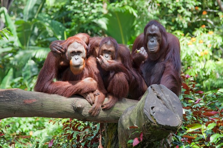 Zoo La Teste – orang outan