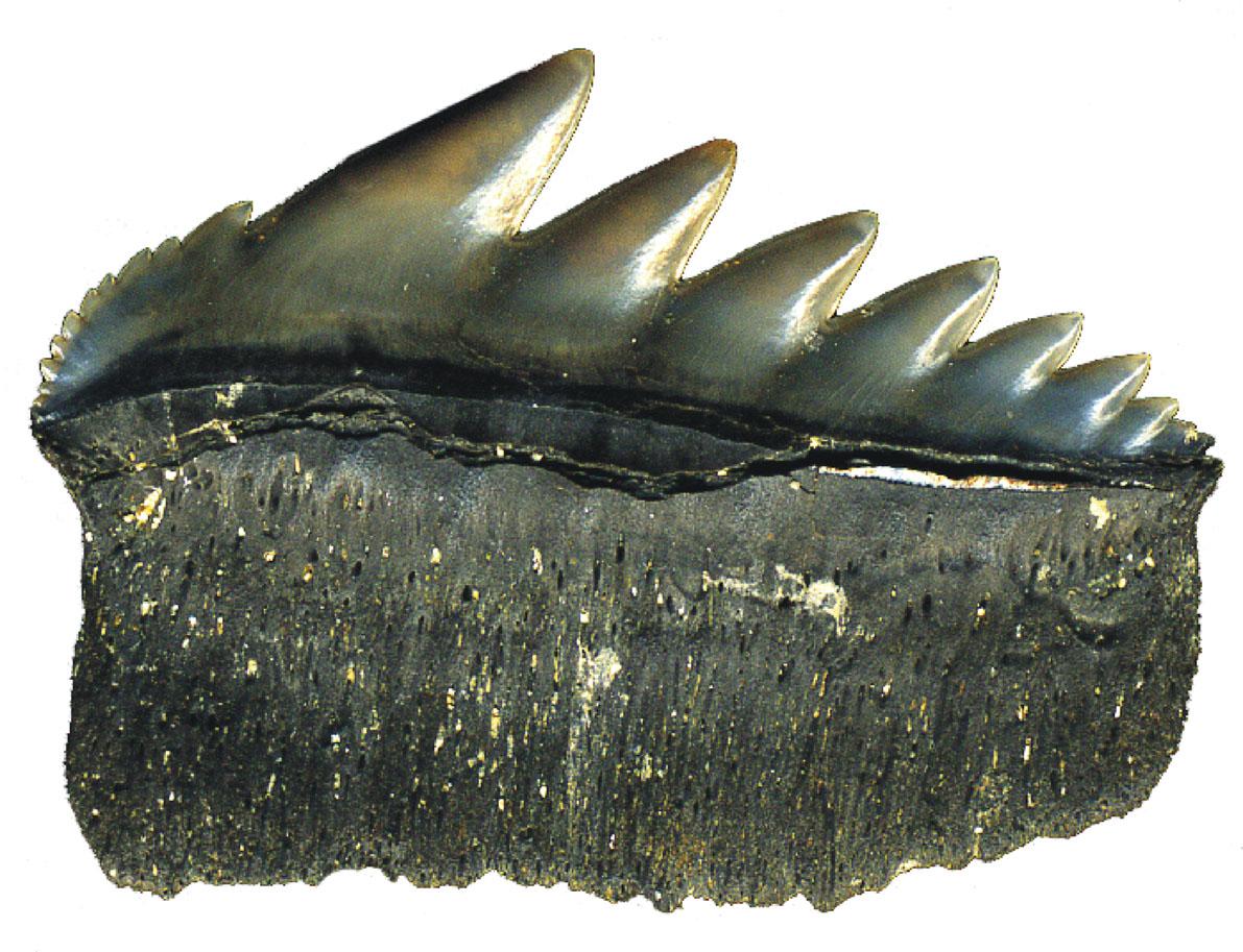 dent fossile de notorhynchus (requin plat-nez) réduite