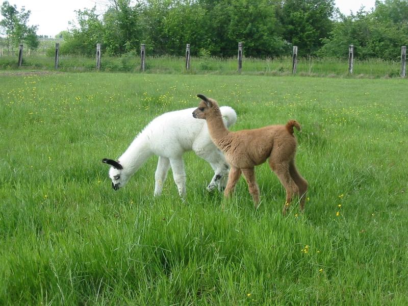 ferme-pedagogique-des-lamas-bienvenue-a-la-ferme-st-paul-de-blaye-jeunes-800×600