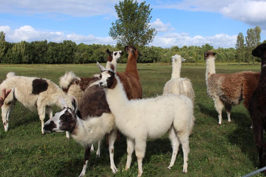 ferme-pedagogique-des-lamas-st-paul-de-blaye-troupeau-800×600