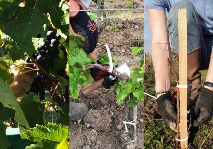 Le Soin des Vignes au Château Hourtin-Ducasse