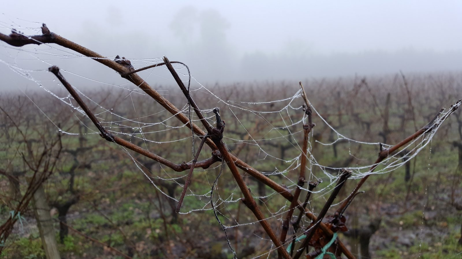 vignes-en-hiver